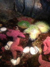 A starfish at the Oregon Coast Aquarium