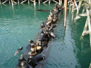 Sea Lions on a dock in Yaquina Bay at Port Dock One in Newport's Historic Bayfront District